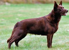 kelpie (australian herding dog) - Google Search