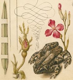 Reed Grass, French Rose, Toad, and Gillyflower (detail), Joris Hoefnagel, Georg Bocskay, 1591-96, script 1561-62