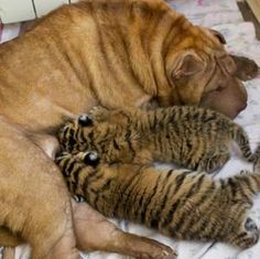 You're not our mum! Two abandoned Siberian #tiger cubs are adopted by a dog called Cleopatra