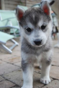 when we get Bootsy a friend it'll be this. A pomsky. (Pomeranian Husky mix.) I'm so in love.