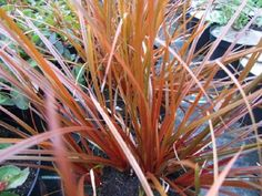 Striking evergreen plant with leaves that are deep reddish with a hint of brown. Needs to be grown in full sun or light shade, in soil that is not too dry. All Plants, Light Shades, Evergreen, Seaside, Coastal, Beach, Coast