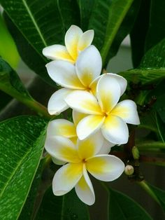Plumeria// frangipani -- The amazing smell of this flower always reminds me of my holidays to Fiji! Tropical Flowers, Hawaiin Flowers, Plumeria Flowers, Flowers Nature, Exotic Flowers, Tropical Plants, Fresh Flowers, Beautiful Flowers, Flower Images