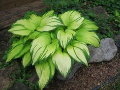 hosta 'On Stage' at Woodland Gardens