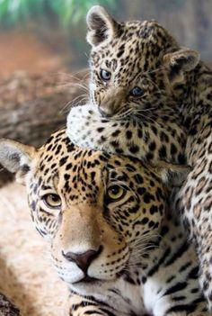 Mon and cub