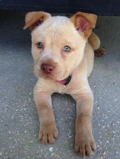 Meet Gypsy, an adoptable Shar Pei looking for a forever home. If you're looking for a new pet to adopt or want information on how to get involved with adoptable pets, Petfinder.com is a great resource.
