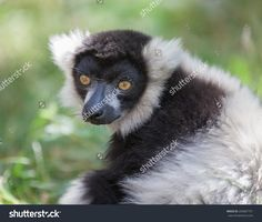 Black And White Ruffed Lemur Стоковые фотографии 209687791 : Shutterstock