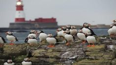 A photo of some puffins on the rocks near Longstone Lighthouse, Farne Islands, Northumberland