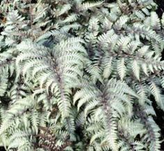 Anisocampium niponicum var. pictum 'Silver Falls' 1