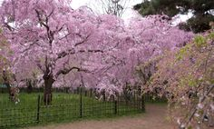 Cherry trees heavily laden with pink blossoms at full bloom, on the grounds of the old imperial palace, Kyoto, Japan