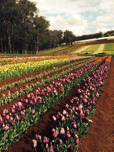 Stunning tulip festival