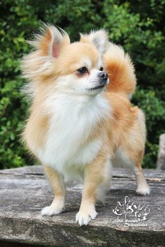 Effective Potty Training Chihuahua Consistency Is Key Ideas. Brilliant Potty Training Chihuahua Consistency Is Key Ideas. Cute Puppies, Dogs And Puppies, Cute Dogs, Doggies, Long Haired Chihuahua Puppies, Long Coat Chihuahua, Chihuahua Love, Little Dogs, Beautiful Dogs