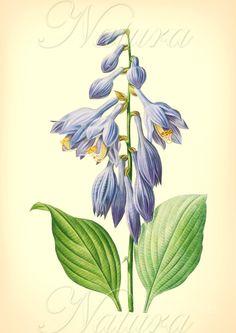 Botanical Print, 111, vintage flower illustration.