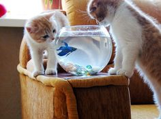 Some interesting betta fish facts. Betta fish are small fresh water fish that are part of the Osphronemidae family. Betta fish come in about 65 species too! Cute Kittens, Cats And Kittens, Funny Cats, Funny Animals, Cute Animals, Funny Cat Pictures, Animal Pictures, I Love Cats, Crazy Cats