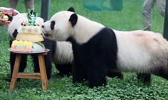Happy Birthday to giant pandas Qin Chuan and Le Le who enjoy the cake prepared for their 5th birthday at the Jinbao park in Weifang City, east China's Shandong Province.