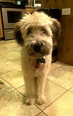 Soft coated wheaten terrier puppy. 6 months.