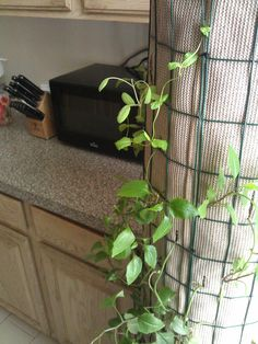 Lagos spinach #growingindoors on my #Phytopod-3 Hydro #hydroponic planter in the corner of my kitchen.