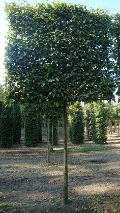 arbre paliss persistant arbres paliss s en espalier ou rideau pinterest id es de jardin. Black Bedroom Furniture Sets. Home Design Ideas