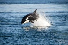Report: Killer whales 'harass' fishermen, steal fish