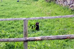 Chocolate Labrador Retriever Zaunkönig http://www.meinwortreich.de/k2-2/mein-tierreich/schokolabbys/schokolabby-storys/item/162-zaunkoenig