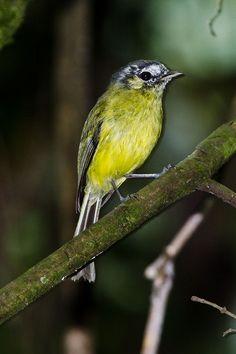 Foto barbudinho (Phylloscartes eximius) por Evaldo Cesari | Wiki Aves - A Enciclopédia das Aves do Brasil
