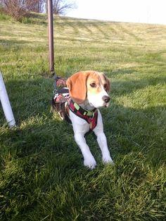 Hanny-beagle-i-love-her