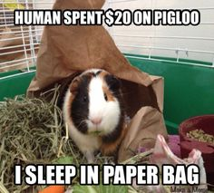 We've all seen dog shaming and cat shaming but guinea pigs? Cavy owners know that these little critters can have just as much attitude as the biggest dog or cat out there. Baby Guinea Pigs, Guinea Pig Care, Baby Pig, Guinea Pig Toys, Cat Toys, Hamsters, Rodents, Funny Animal Pictures, Cute Funny Animals