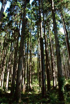 Cedar tree forest near the Kuzuryu Shrine, Hakone