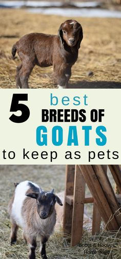 What are the best goats for pets? Well honestly, this can vary a bit depending on who you ask. I'll share our top five favorite goat breeds that we keep on our homestead.