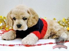American Cocker Spaniel Pup ~ Classic Look & Trim Black Cocker Spaniel, American Cocker Spaniel, Cocker Spaniel Puppies, English Cocker Spaniel, Cute Puppies, Cute Dogs, Dogs And Puppies, Doggies, Baby Animals