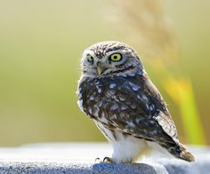 Little Owl by Young Sung Bae - Photo 127227803 - 500px