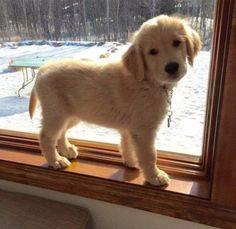 Cute little Golden Retriever puppy getting some sun - Cats and Dogs House Cute Baby Animals, Animals And Pets, Funny Animals, Wild Animals, Chien Golden Retriever, Golden Retrievers, Cute Puppies Golden Retriever, Labrador Retrievers, I Love Dogs