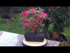 Consejos sobre en cuidado de las azaleas 12 marzo 2013. - YouTube