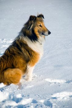 Rough Collie in the snow
