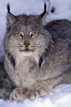 Adult Canadian Lynx...here kittie, kittie!!!
