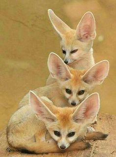 Fennec fox trio