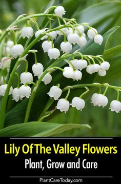 Lily of the valley plants convallaria majalis are fragrant late spring early summer blooming plants throughout the northern temperate zone Learn to plant grow care pest a. Organic Horticulture, Organic Gardening, Gardening Tips, Vegetable Gardening, Container Gardening, Shade Garden, Garden Plants, Fruit Garden, Outdoor Plants