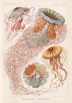 Illustration showing four different types of jellyfish - Ernst Haeckel - 1904 - via LOC Vintage Prints, Retro Vintage, Posters Vintage, Retro Poster, Vintage Design, Vintage Stil, Blue Heron, Forest Poster, Ernst Haeckel Art