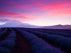 Sunset over lavender fields at Tasmania's  Bridestowe Estate