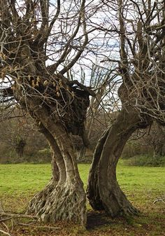 Ancient Hornbeam tree, with a split trunk