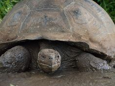 Galapagos giant tortoises - live to be over 100 years old!