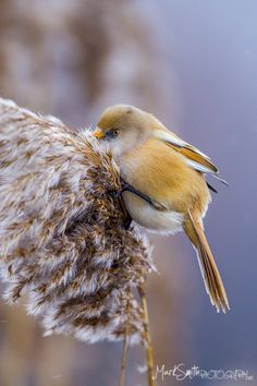 Bearded Reedling (Panurus biarmicus) is a small, sexually dimorphic reed-bed passerine bird. It is frequently known as the Bearded Tit, due to some similarities to the Long-tailed Tit, or the Bearded Parrotbill.