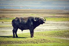 The African buffalo on savanna Photos The African buffalo on savannah. Ngorongoro crater in Tanzania, Africa by Photocreo Michal Bednarek Garcia Marques, African Buffalo, Wild Animals Photos, Hyena, Red Fox, Walk On, Tanzania, Savannah Chat, Pets
