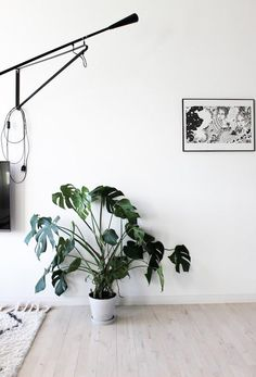 A very happy monstera deliciosa adds a pop of color, and chaos, to an empty white entryway.
