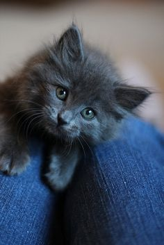 Kittens And Puppies To Color; Cute Animals Playing case Kittens Meowing Singing until Kittens Game Religion Cute Cats And Kittens, I Love Cats, Kittens Cutest, Funny Kitties, Funny Dogs, Kittens Meowing, Ragdoll Kittens, Grey Kitten, Grey Cats