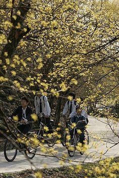 Gurye Sansuyu Flower Festival in Spring | Korea