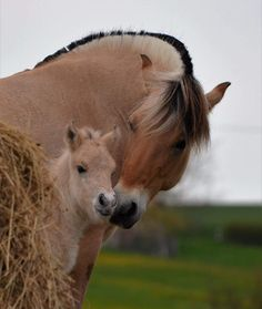 Beautiful Dream, Beautiful Horses, Fjord Horse, Cute Horses, Draft Horses, Horse Pictures, Livestock, Cute Baby Animals, Equestrian