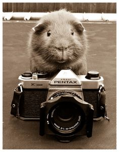A widdle to da weft... No, sowwy, your wight... Now smile for da camwa!!! #GuineaPig