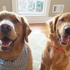 Caption this photo of Golden Retrievers, Big Dogs, Playing Dress Up, Funny Photos, Caption, Animal Pictures, Your Pet, Funny Animals, Dog Cat