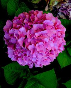 Google Image Result for http://brendasblumenladen.files.wordpress.com/2011/06/pink-hydrangea.jpg