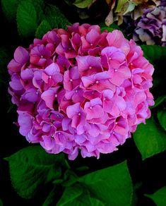 pink hydrangea - Google Search